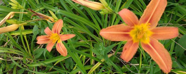 liliies