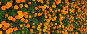 marigolds photo by Brenna Busse